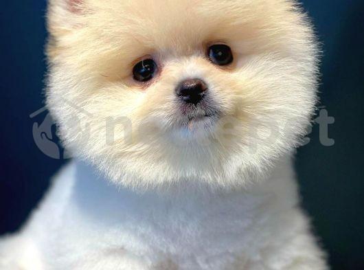 3.5 Aylık Kar Beyazı PomeranianBoo Yavrularımızdan