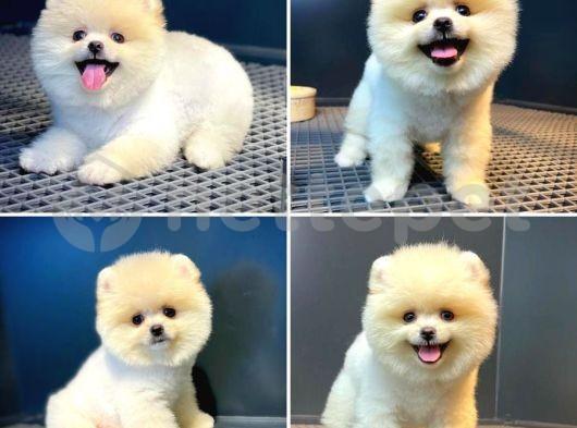 Güler yüzlü sevimli Pomeranian Boo yavrumuz