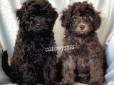 Silver & black toy poodle yavrularımız @catboyssss da