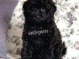 Black (siyah) dişi toy poodle yavru @catboyssss da