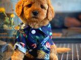 Toy Poodle Güzelliği