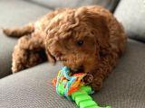 Toy Poodle 3 aylık Erkek Pasaportlu ve aşıları tam