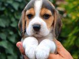Teslime Hazır Irk Ve Sağlık Garantili Beagle Yavrular