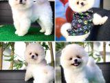 Bu Haftanın Yavrularından 3 Aylık PomeranianBoo Oğlumuz/ İnstagram: pomeranianboodunyasi_
