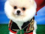 Yeni Haftanın Yeni Yavrularından 3 Aylık Kar Beyazı Boo Oğlumuz/ İnstagram: pomeranianboodunyasi_