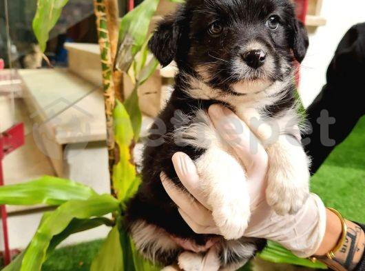 Uygun fiyatlı havanise terrier