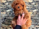 Red brown kızıl renk toy poodle yavrumuz catboyssss da