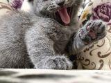 Sahibinden Uygun Fiyatlı Scottish Ve British Kediler