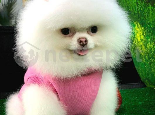 Güzel ve Sevimli Pomeranian Boo Kızımız ROSE