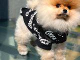 Yarışma Düzeyi Orijinal Renk TeddyBear Pomeranianboo Oğlumuz