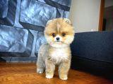 3 Aylık Dişi MiniBoy PomeranianBoo Kızımız/ İnstagram: pomeranianboodunyasi_