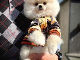 Teddy bear face Yarışma düzeyi Pomeranian boo yavrumuz