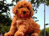 MİNİ TOY POODLE RED BROWN YAVRULAR