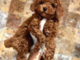 MİNİ BOY RED BROWN TOY POODLE