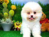 Emsalsiz Güzel Pomeranian Boo yavrumuz