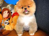 Üst segment Pomeranian Boo yavrumuz
