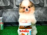 Ender Güzellikte Pomeranian Boo yavrumuz