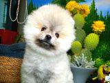 Efsane Güzellikte  Pomeranian Boo yavrumuz