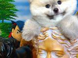 Pomeranian Boo Efsanesi