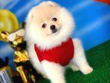 Balkız Pomeranian Boo yavrumuz