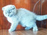 scottish fold blue