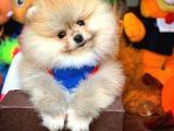 Ayı Surat Pomeranian Boo Kızımız MARLEY