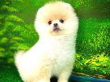 Pomeranian Boo Dostluğu
