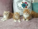 Muhteşem chinchilla yavrularım