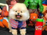 Yeni Gelen MiniBoy PomeranianBoo Yavrumuz/ İnstagram: Pomeranianboodunyasi_
