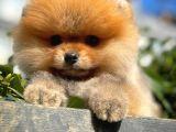 Yavru Patiler'den Muhteşem Güzellikte 3 aylik pomereanian Boo