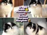 Pomeranian boo Yteişkin Safkan Yarışma duzeyinde
