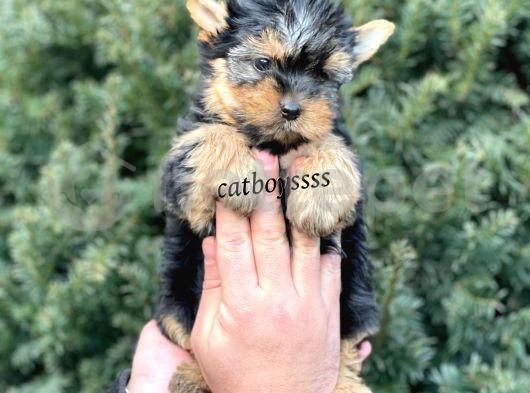 Yorkshire Terrier mini yavrular @catboyssss da