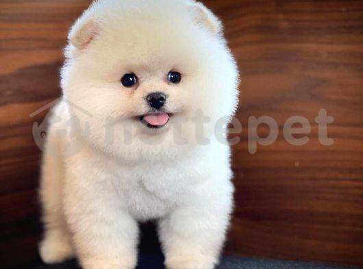 Safkan Orjinal Pomeranian Boo yavrumuz