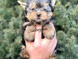 Sevimli yorkshire terrier yavrularımız @catboyssss da