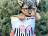 Safkan mini yorkshire terrier erkek yavrumuz @catboyssss da