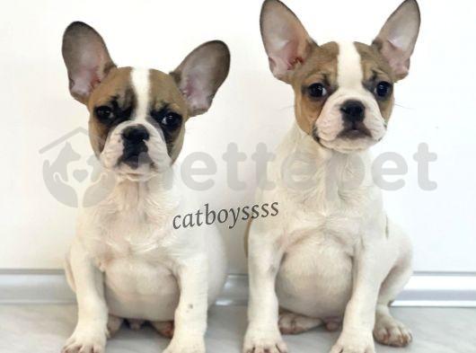 Safkan french bulldog yavrularımız @catboyssss da