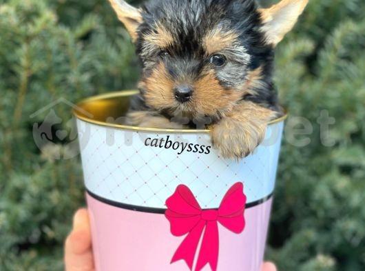 Mini yorkshire terrier erkek yavrumuz @catboyssss da