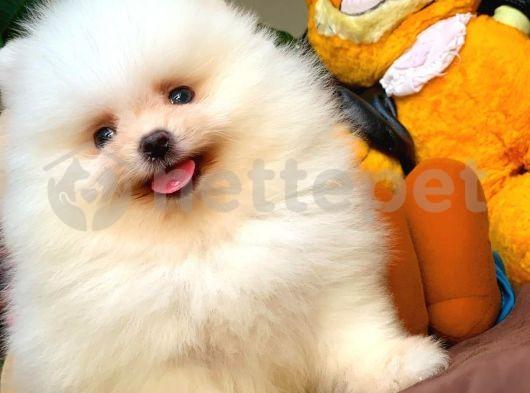 Ayı Surat Pomeranian Boo Oğlumuz CARLOS