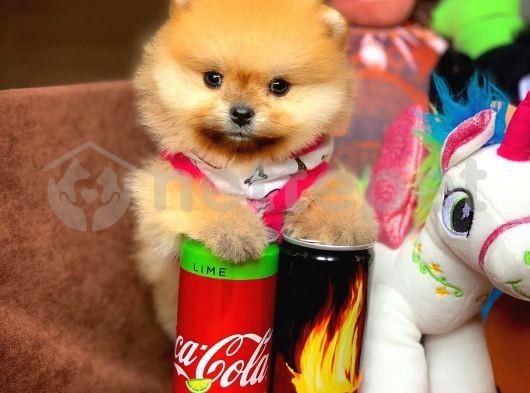 Ayı surat Pomeranian Boo Kızımız Linda