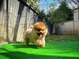 Pomeranian Boo Eşsiz Güzelliği