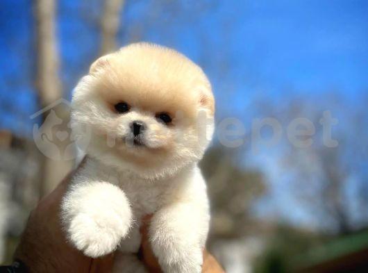 Pomeranian boo tip Gülen yüz