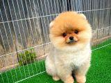 En Tatlı Yüze Sahip Pomeranian Boo
