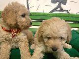 Poodle yavrularımız orjinal safkan