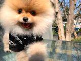 Ayı Surat Pomeranian Boo Oğlumuz CHESTER