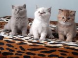 Lilac British Blue Point British Shorthair Goldenshat British Shorthair