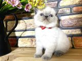 Süper Kalite Blue Point British Shorthair Yavrumuz Teng