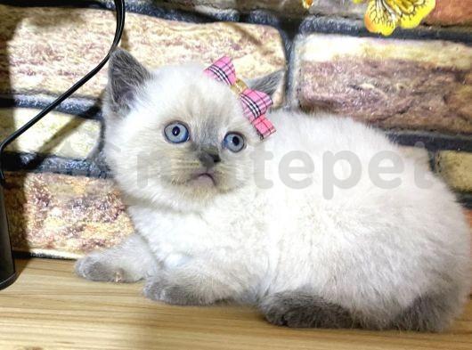 Efsane Blue Point British Shorthair Yavrumuz Quinn