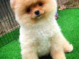 Pomeranian Boo ihtişamı