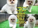 Safkan Pomeranian BOO Teddybear Teddyface Ayı surat A plus Yarışma duzeyinde