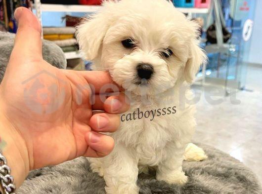Sevimli mini maltese terrier yavru @catboyssss da